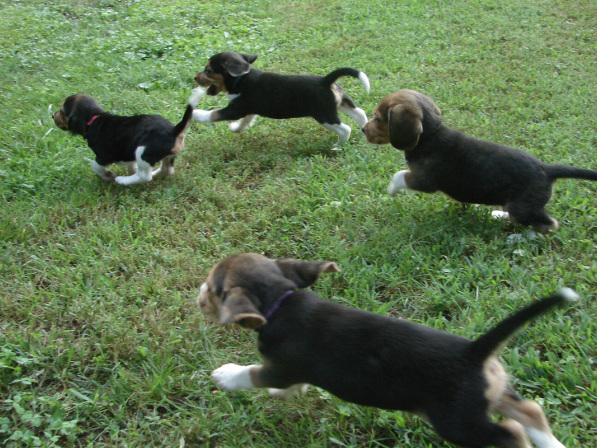 Shiloh little beagles home theres a special feeling that you get deep down inside when you experience beagle puppies at play here at shiloh farm in beautiful western north carolina voltagebd Choice Image